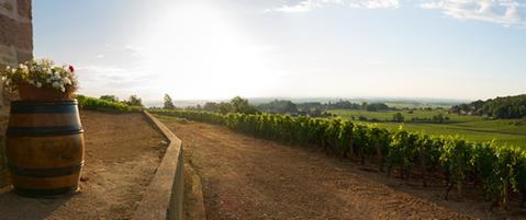 A row of vineyards in Burgundy, France.