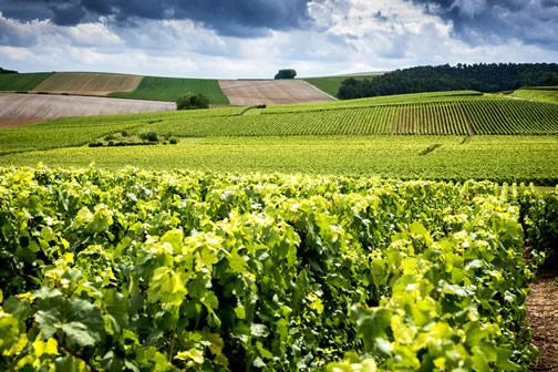 Champagne vineyards outside of Reims, France.
