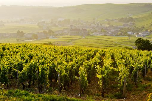 Vineyards in the Burgundy, France region.