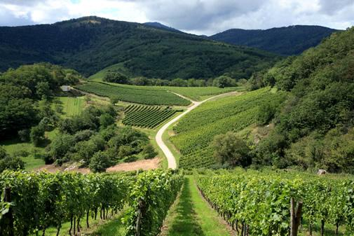 The vineyards at the foot of the Vosges mountains in Alsace.