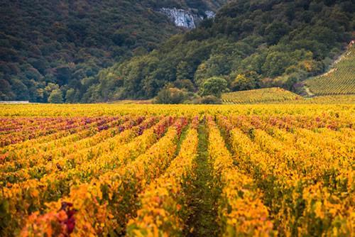 Rows of vineyards in Burgundy in late summer.