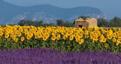 Lavender fields against a backdrop of sunflowers on a sunny day.