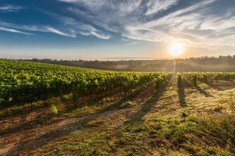 A vineyard in the Vouvray wine region of France.