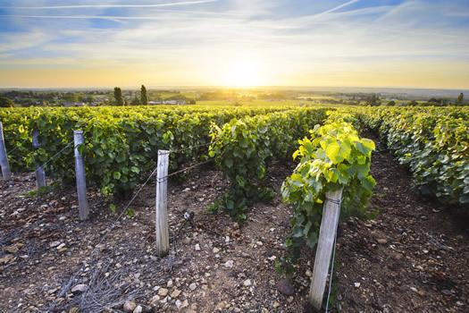 The sun setting over the vineyards in Burgundy, France.